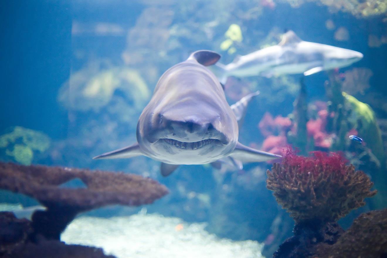 tiburón en el acuario de reefworld en hervey bay