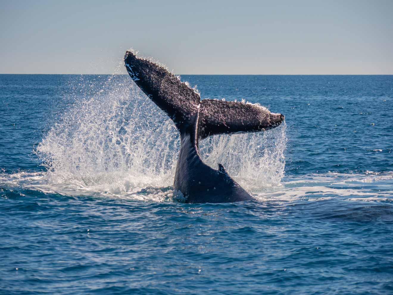 cola de ballena en hervey bay