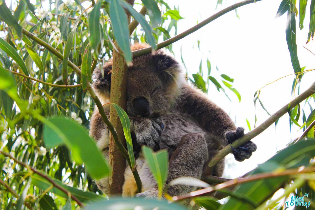 koala en puerto douglas