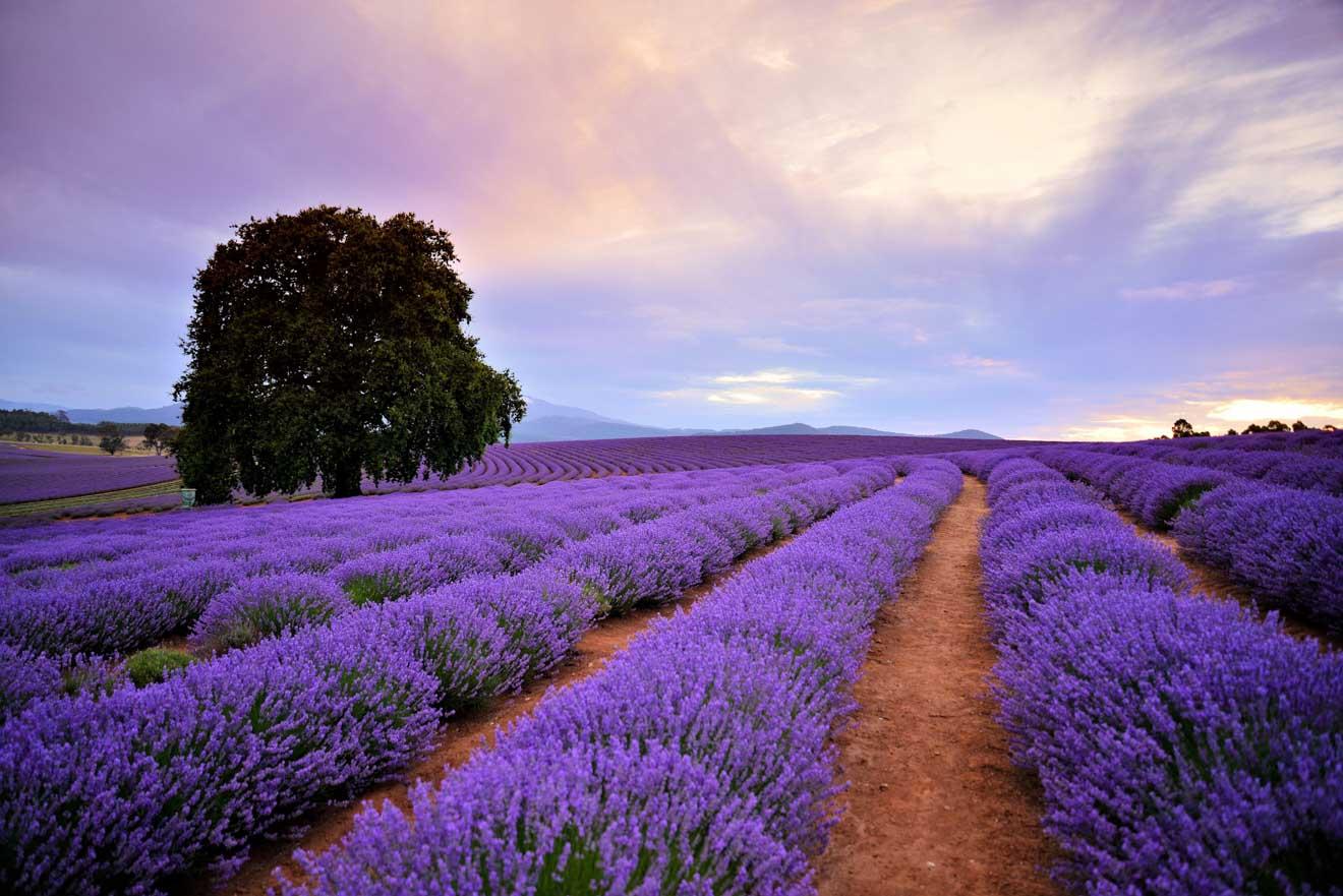 Recorrido a pie por el jardín de Bridestowe Lavender Estate en Tasmania