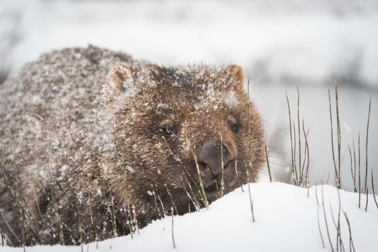 Wombat en la nieve Atracción de Tasmania