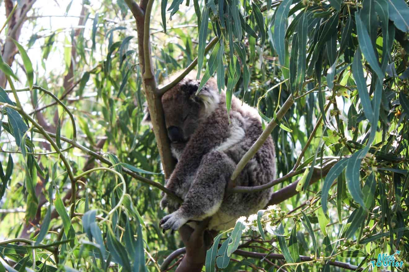 Paradas increíbles: ruta de Koala Great Ocean Road