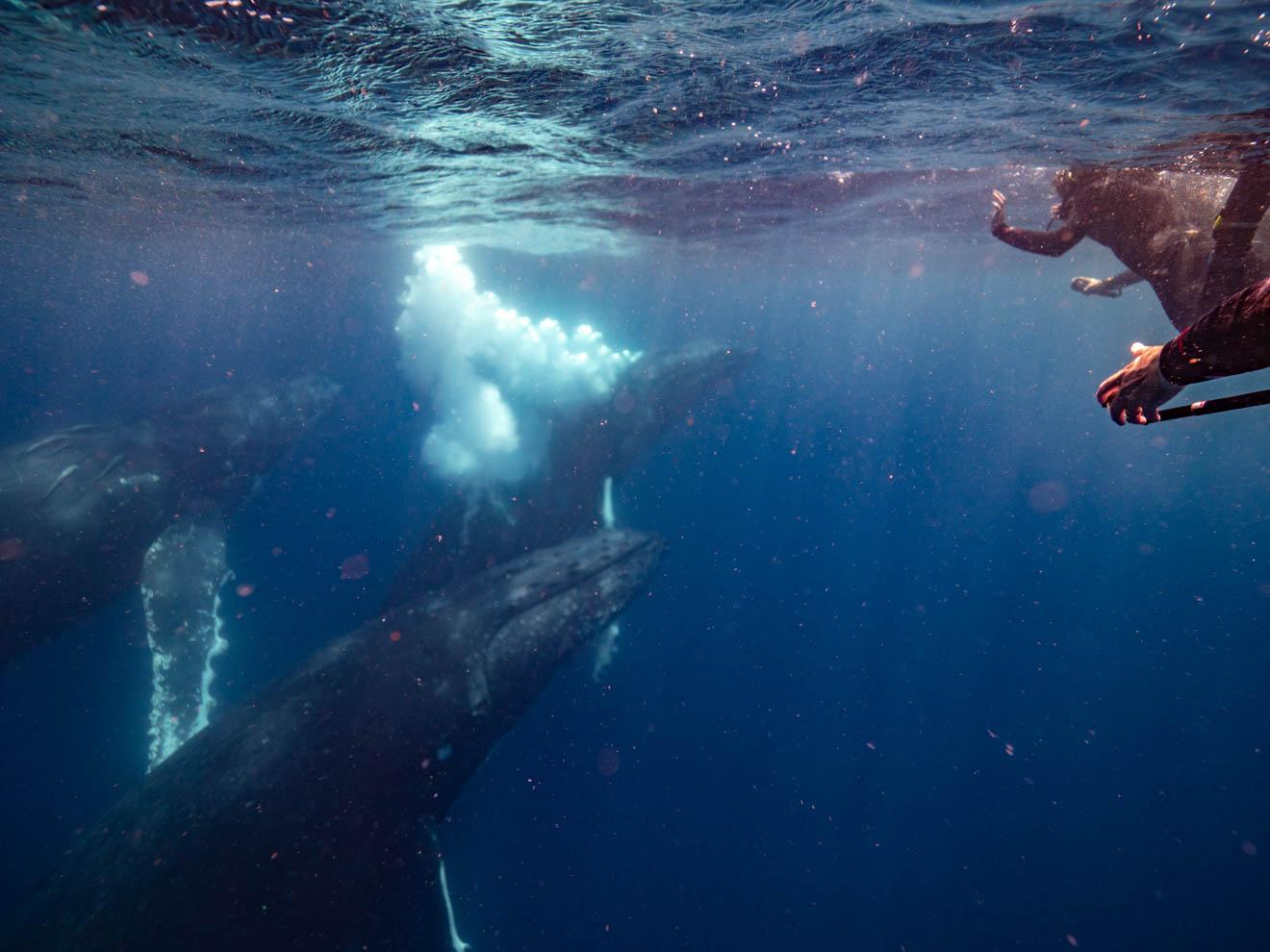 nadar con ballenas cosas que hacer en Sunshine Coast