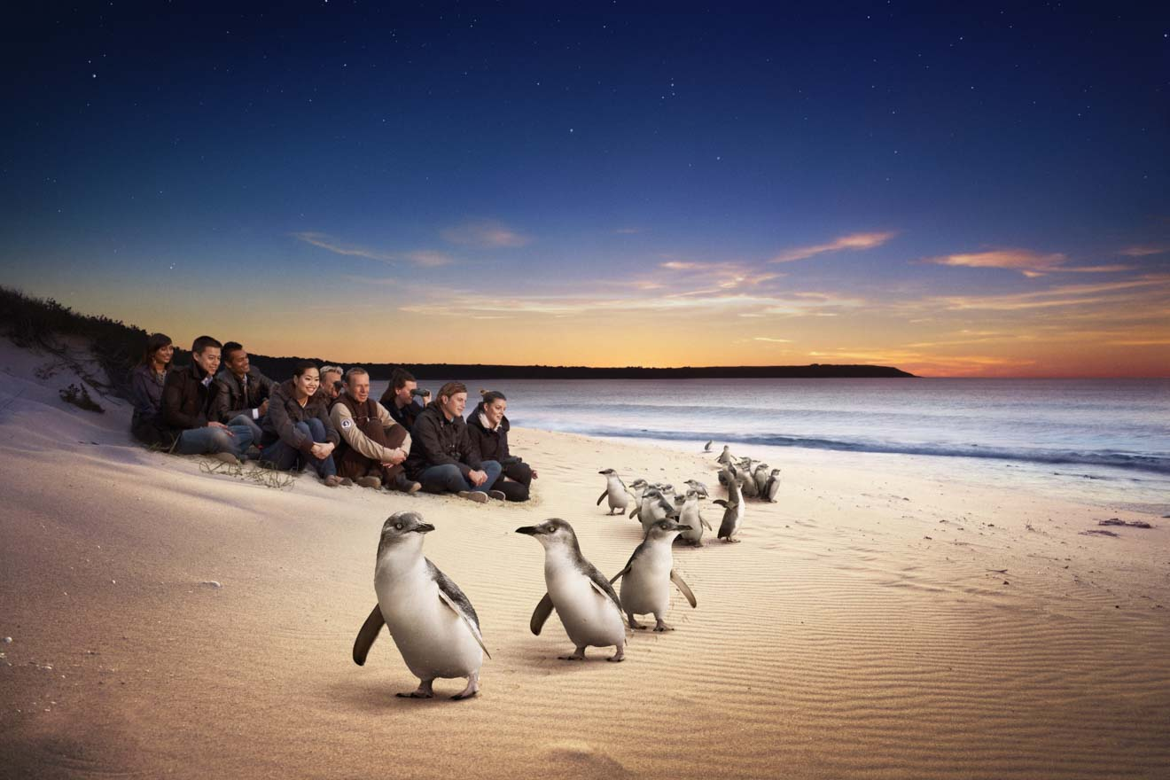 entradas para el desfile de pingüinos de phillip island - pingüinos ¿Qué hacer en Phillip Island?