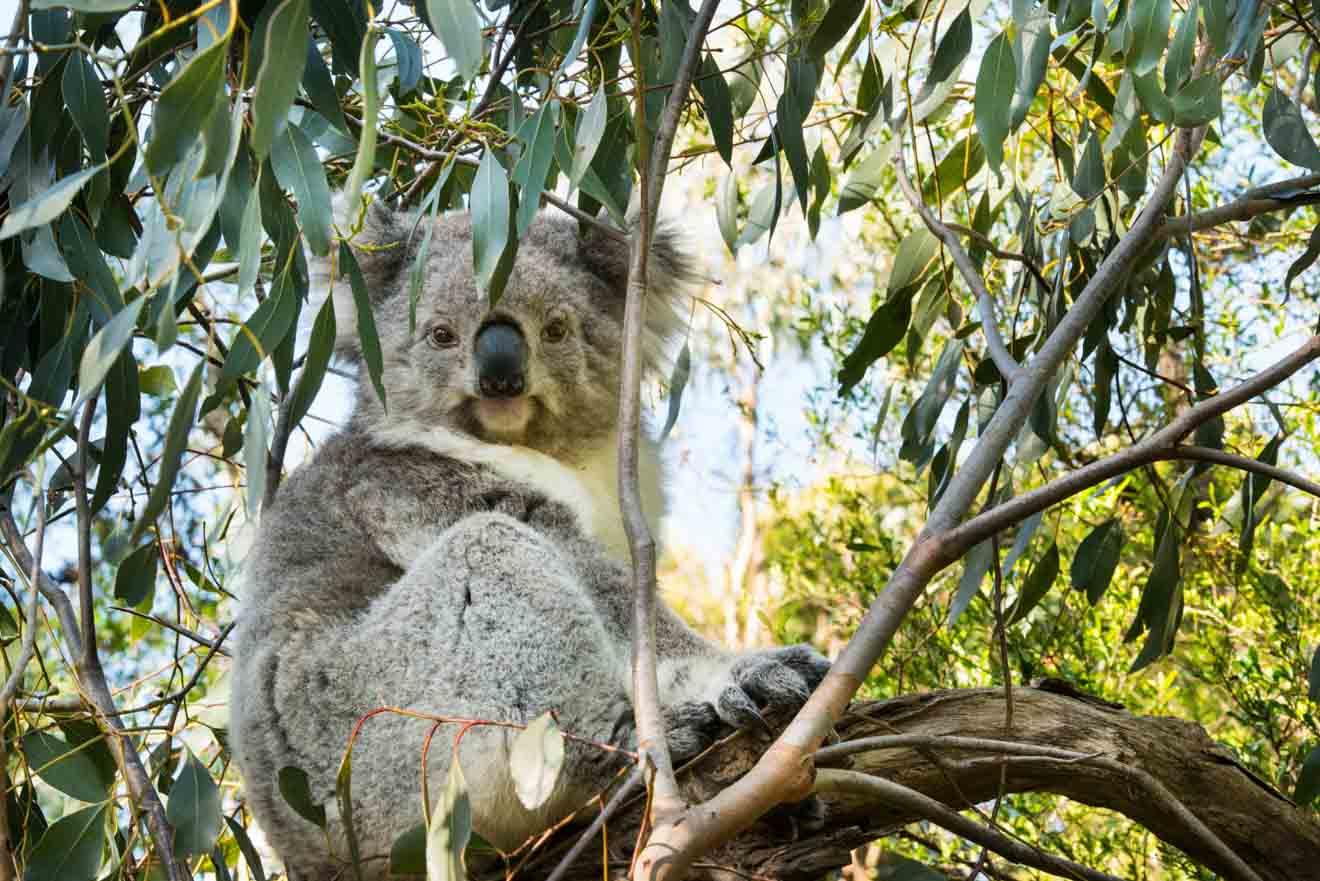 Los mejores consejos para planificar un viaje de un día perfecto a Phillip Island - Koala Qué hacer en Phillip Island