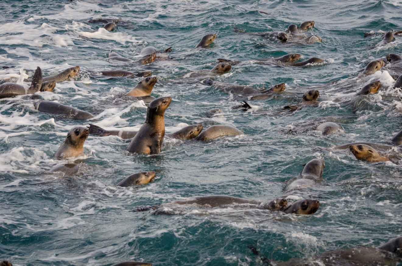 Lobo marino Cosas que hacer en Phillip Island en Melbourne Australia