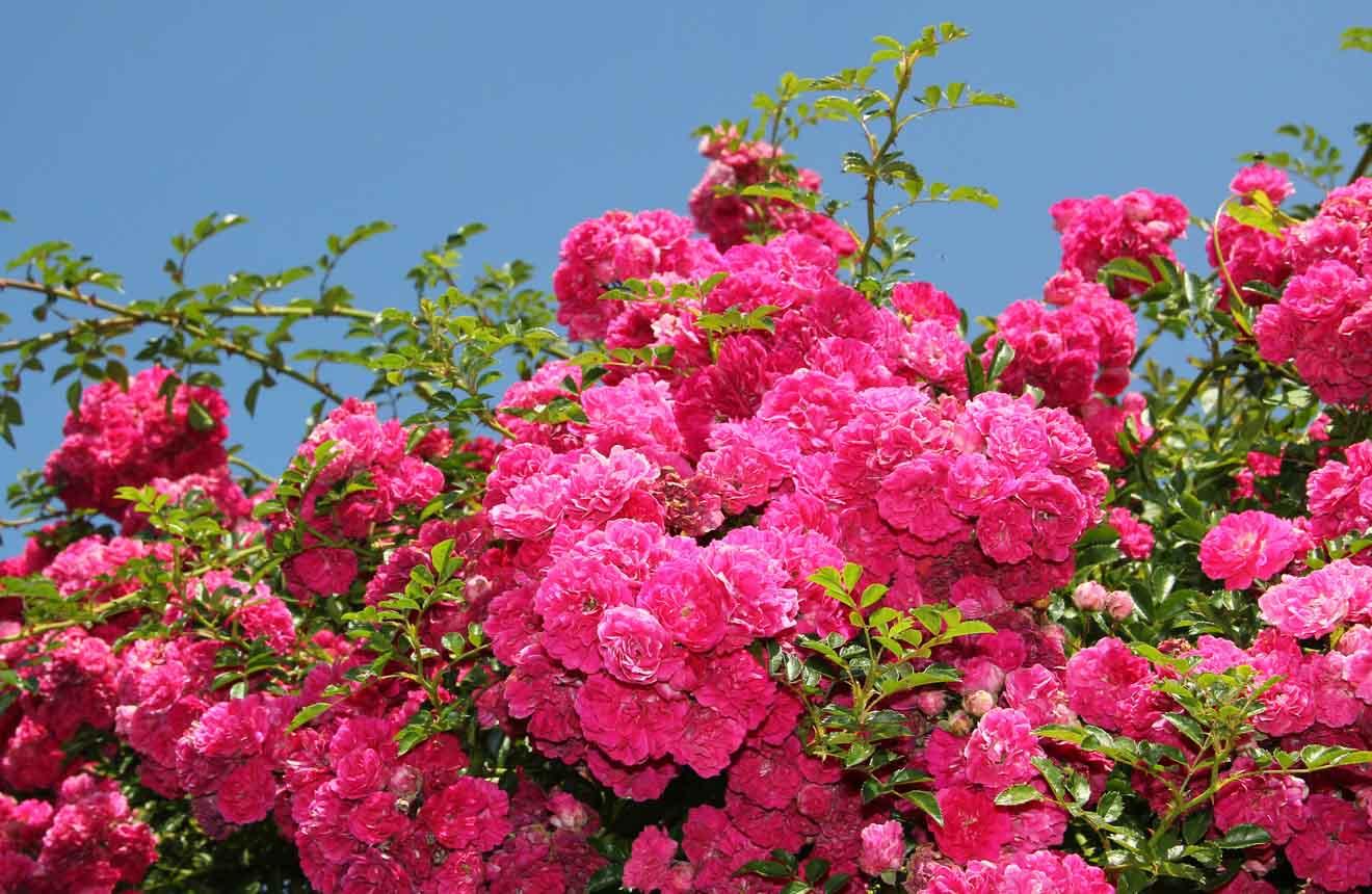 mejores atracciones en Mildura - rosal Qué hacer en Mildura