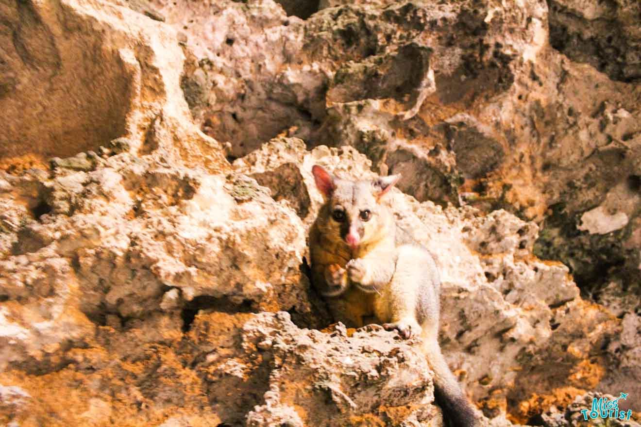 Mount Gambier: 50 actividades para hacer - Possum