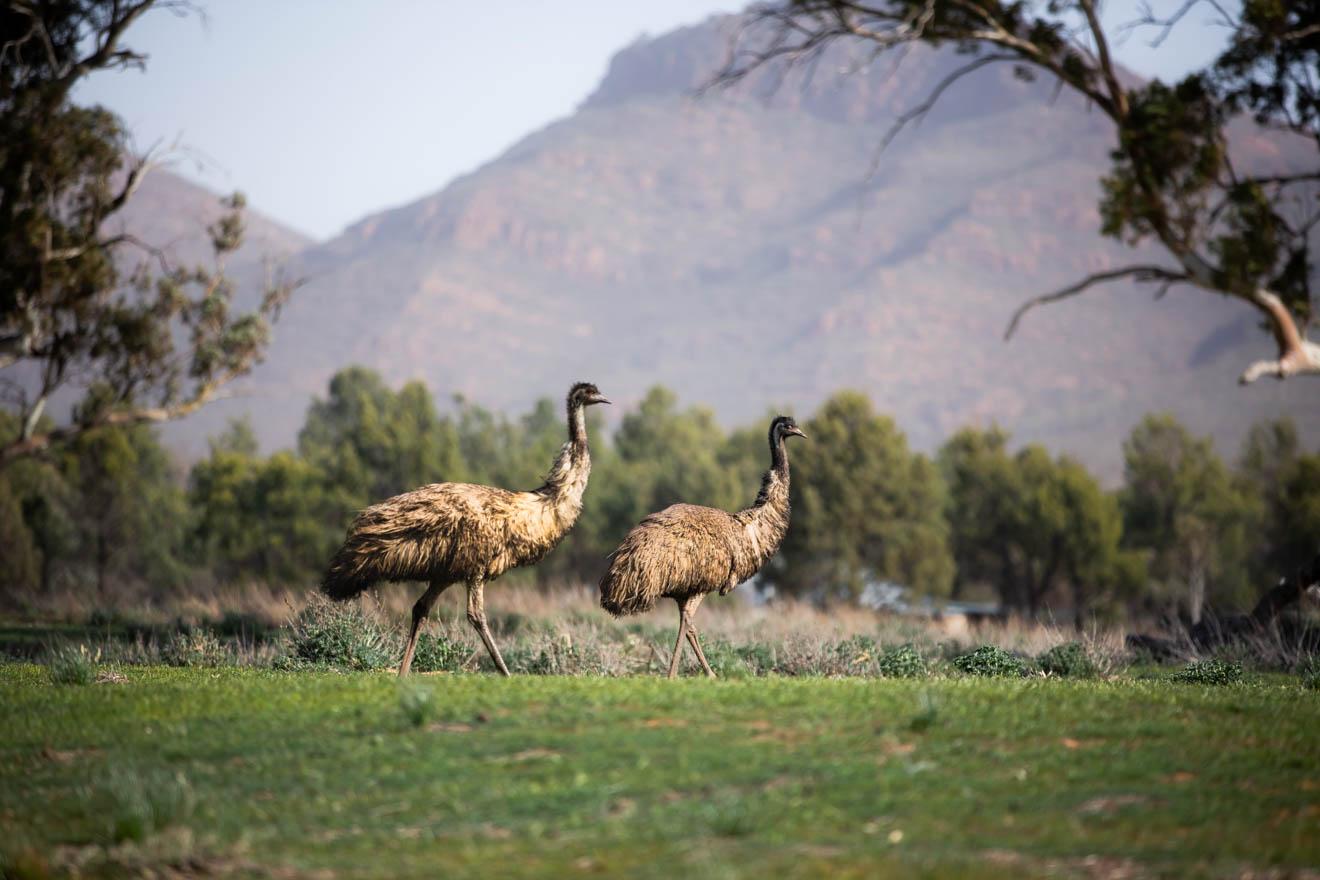 vida silvestre vida silvestre Wilpena Pound Resort, SA