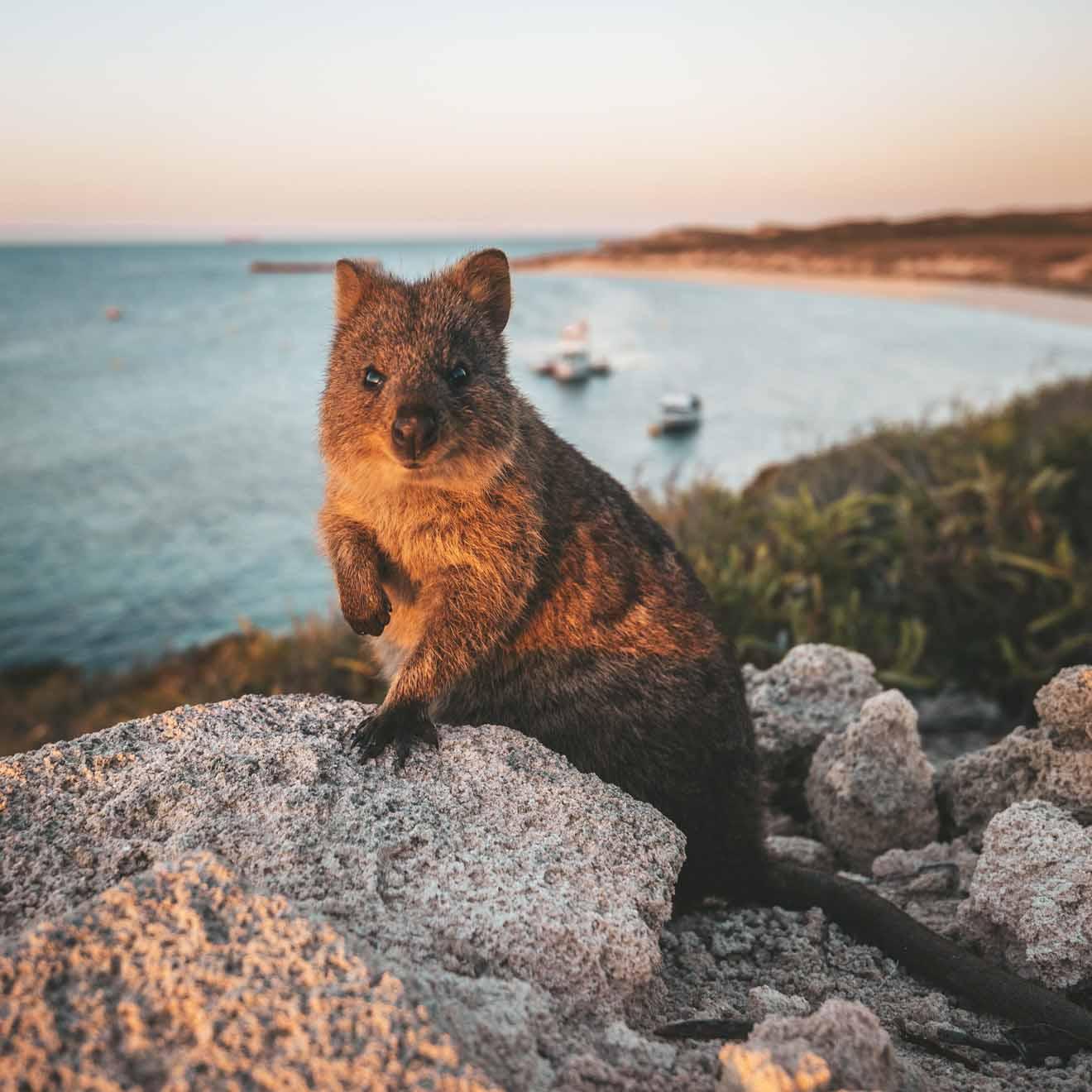 qué hacer en Perth mañana - Quokka en la isla Rottnest