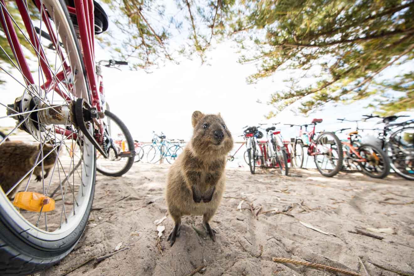 Ciclismo y actividades de vida silvestre en Quokka en la isla Rottnest