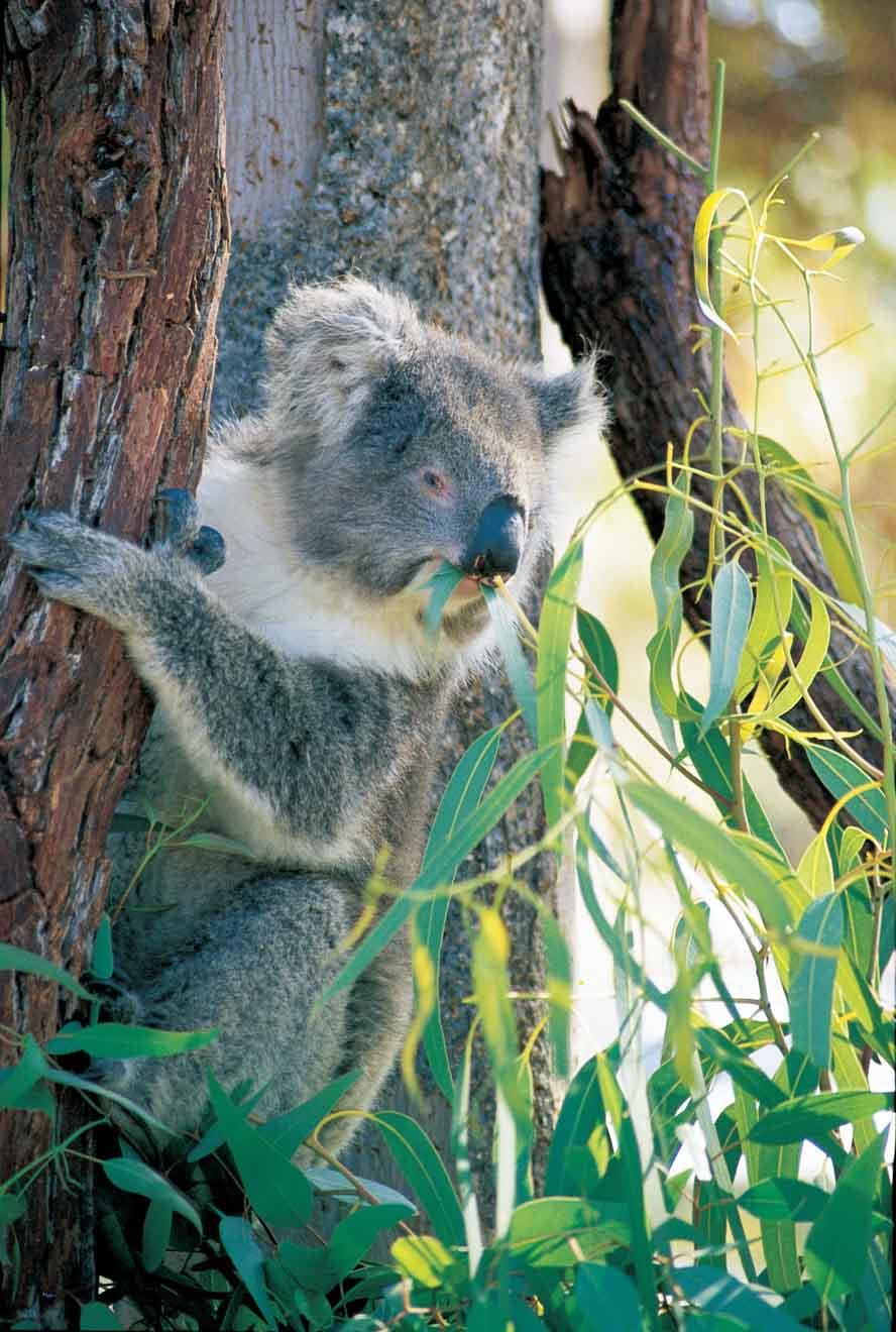 Excursión de un día a Koala de Perth Hills en el Parque Nacional Yanchep
