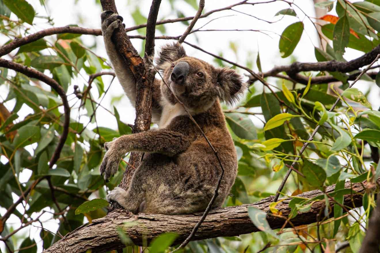 koala Qué hacer en Brisbane y Gold Coast