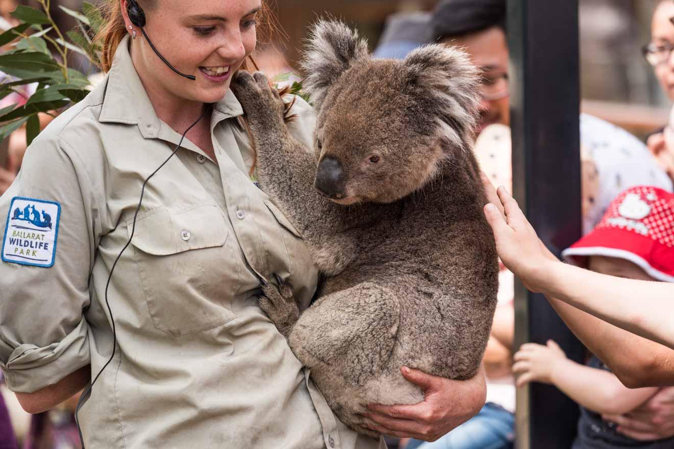 Koala en Ballarat Wildlife Park cosas que hacer en los próximos eventos de Ballarat