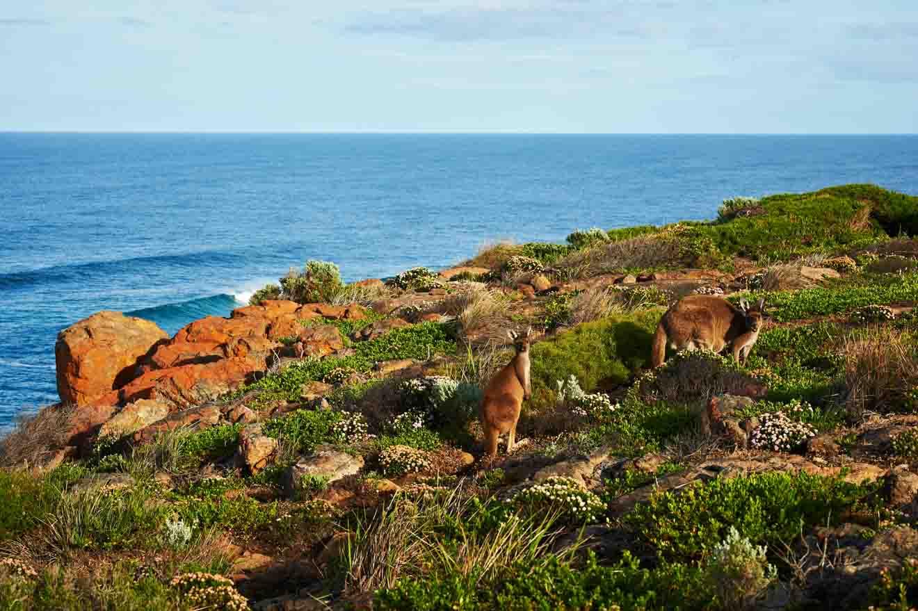 Canguro para ver Margaret River Western Australia Viaje por carretera
