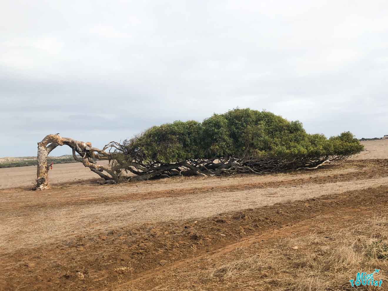 árbol australia perth en viaje por carretera exmouth