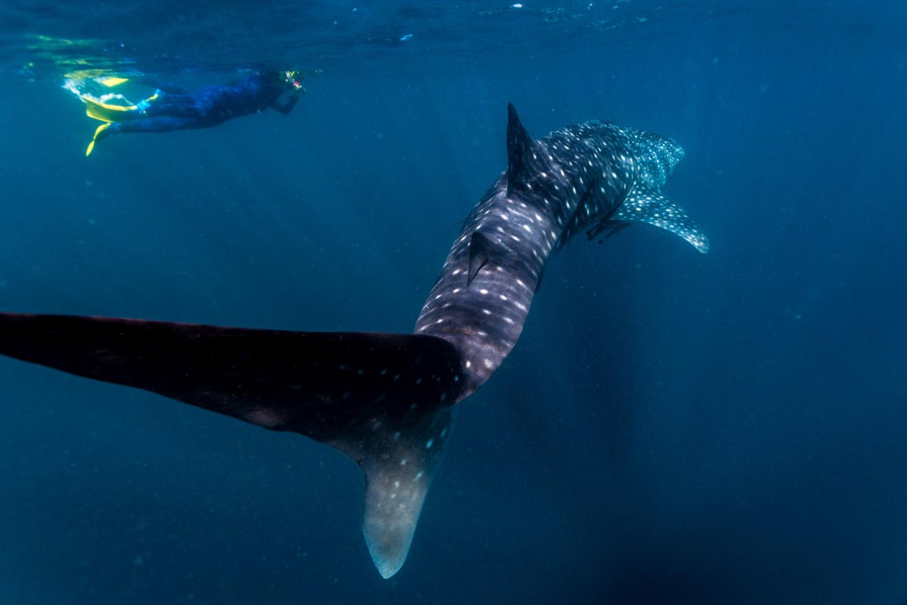 Nadar con tiburones ballena Ningaloo Australia