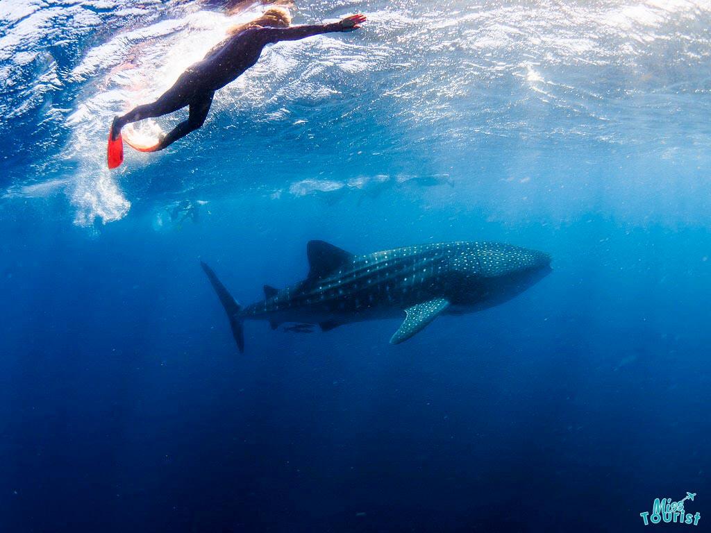 mejor momento para nadar con los tiburones ballena de Ningaloo