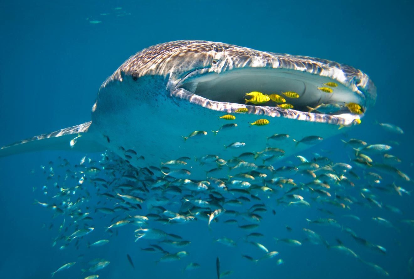 mejor paseo en tiburón ballena Australia Occidental Ningaloo